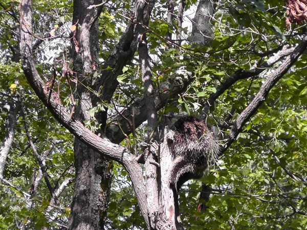 A_porcupine_decides_to_vist_us_from_a_tree_on_the_hike-001.jpg